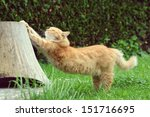 Stock photo ginger cat is stretching 151716695