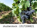 ripe wine grapes on a vine in Rheinhessen, Germany
