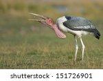 Marabou Stork Eating A Piece O...
