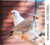 Small photo of amadina fasciata bird in cage