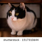 A Calico Cat Crouching Under...