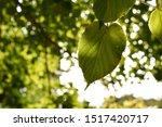 Detail Of Linden Leaf On Tree...