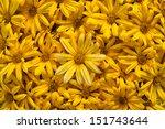 carpet of yellow flowers | Shutterstock . vector #151743644