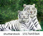 Small photo of Beautiful White Tigers Couple In Forest