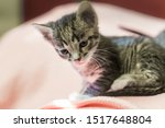 Stock photo small gray striped kitten is looking into frame kitten is month old newborn kitten without mom 1517648804