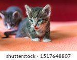 Stock photo little monthly kitten screams and calls for mom hungry kitten brood of kittens left without a 1517648807