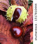 Conker In It S Outer Shell...