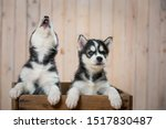 Stock photo puppies of husky breed dogs play and sing puppies sitting in a wooden box 1517830487