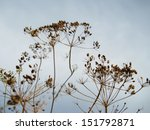 dry dill close up against a sky | Shutterstock . vector #151792871