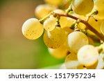sun setting on white grapes  ... | Shutterstock . vector #1517957234