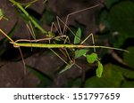 Couple Of Stick Insects