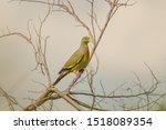 Orange Breasted Green Pigeon ...