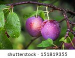 Two Ripe Red Plums On The...