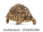 Stock photo leopard tortoise stigmochelys pardalis in front of white background 1518352484