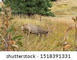 Large Buck Eating Grass On...