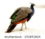 Male Peafowl Standing And...