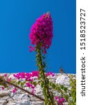 Beautiful Bougainvillea Flower...