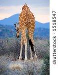 Giraffe's Butt