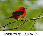 a beautiful red and black bird  ... | Shutterstock . vector #151857077
