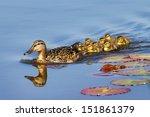 Mother Duck  Anas Platyrhyncho...