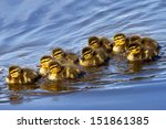 New Born Ducklings  Anas...