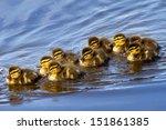 New Born Ducklings  Anas...