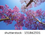 Pink Lapacho Or Ipe Trees Unde...