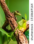 The Knight Anole  Anolis...