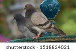 Pair of Rock Pigeons Columba livia on Iron Fountain Cadiz Spain