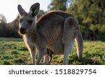 Wildlife Animal Baby Kangaroo...