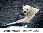 The polar bear  ursus maritimus ...