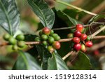 Small photo of Close-up of Coffee Berries in the highlands of Tiom, Lanny Jaya, Papua, Indonesia.