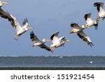 Pelicans   Pelecanus...