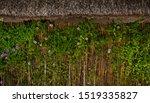 Beautiful Climbing Plant  On A...