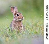 Stock photo wild rabbit 151934309