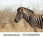 Small photo of Zebra at Kruger national park