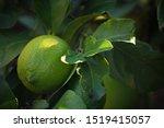 Sunlight On Tip Of Lemon Leaf...