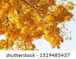 Maple Tree In The Autumn....