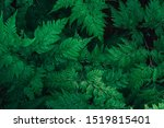 close up green leave fern.... | Shutterstock . vector #1519815401