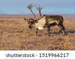 Reindeer  Rangifer Tarandus  I...