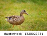 Female Of A Duck With Green...