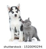 Stock photo siberian husky puppy and british kitten looking away and up together isolated on white background 1520090294