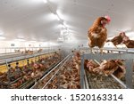 Laying Hens In Aviary And...