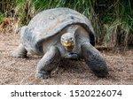 Stock photo close up of giant galapagos tortoise 1520226074