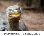 Stock photo close up of giant galapagos tortoise head 1520226077