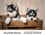 Stock photo the two little puppies of the huskies sit in the box and look out of it puppies of husky breed 1520276354