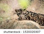 Sunda Or Borneo Clouded Leopard