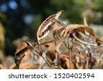 Milkweed Plant Dried Seed Pods...