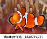 Nemo Or Clown Fish In Anemone
