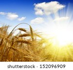 Golden Barley With Sunny Sky